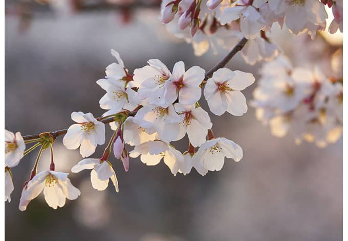 Tapete Japanische Kirsche : Fototapeten Kirschbl?tenzweig – japanische Bl?ten in zartem Ros?